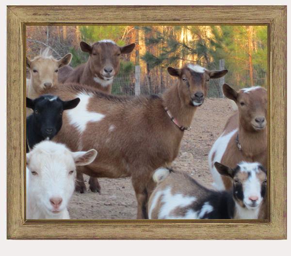 goats-home